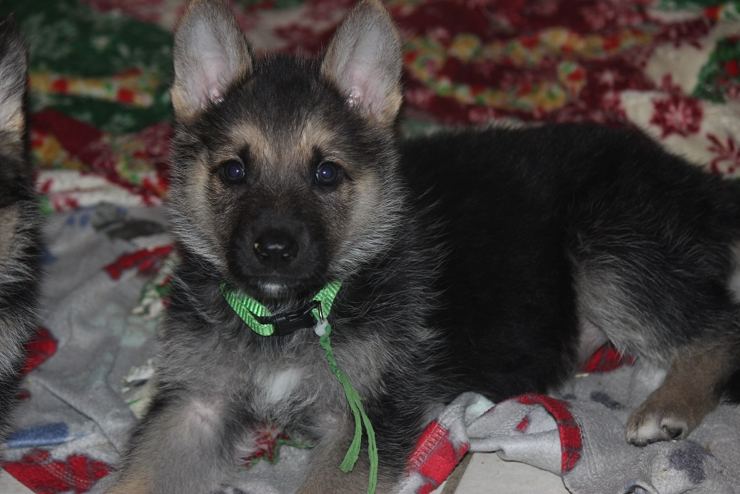German Shepherd puppy for sale