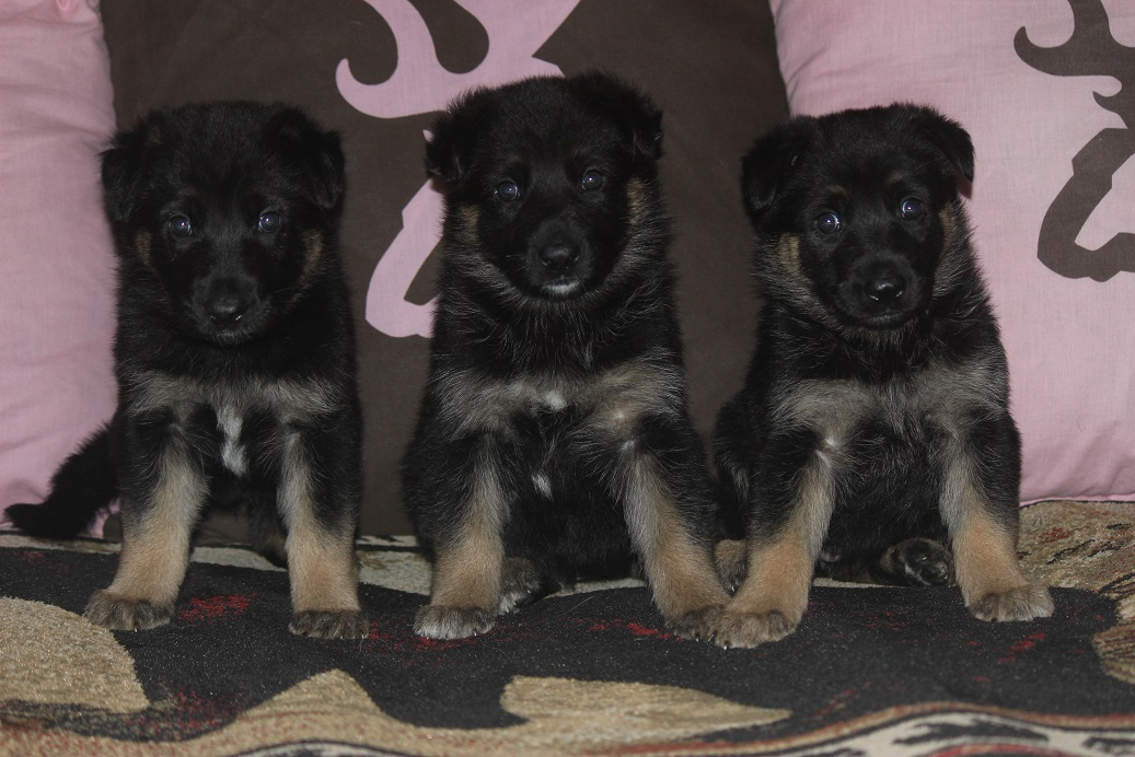 germanshepherdpuppies for sale