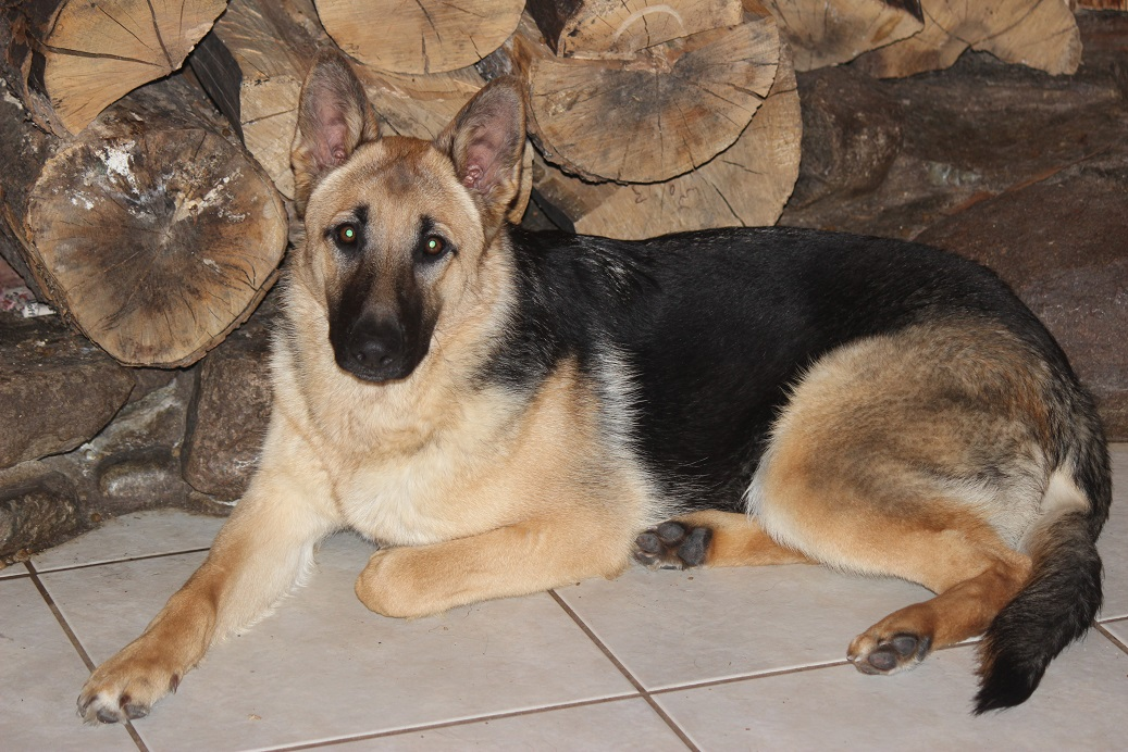 Browning Haus German Shepherd puppies are Top Of the line GSD's