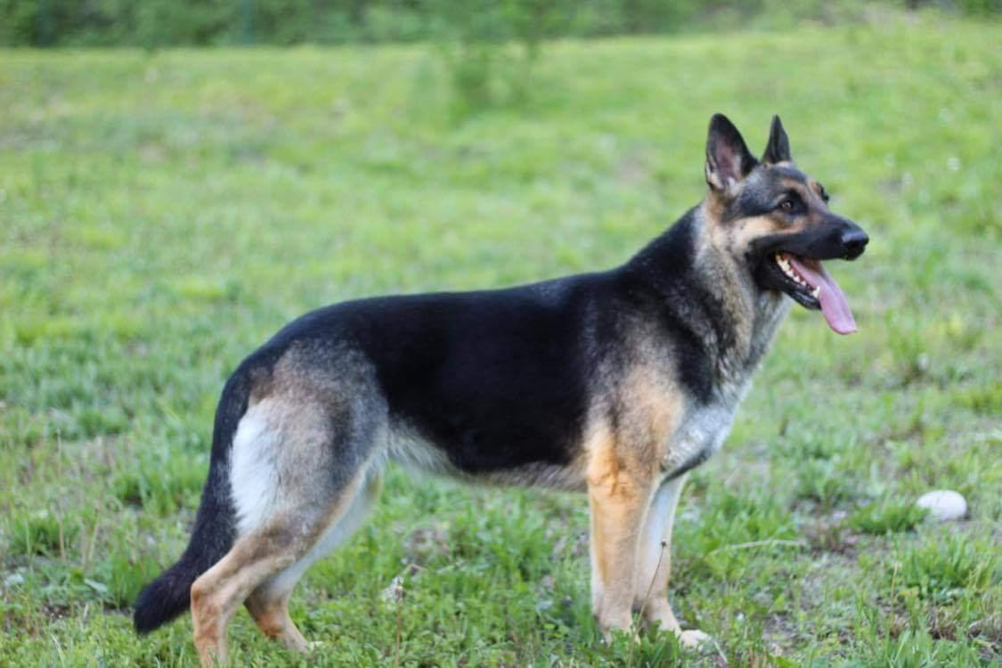 Browning Haus German Shepherds emma