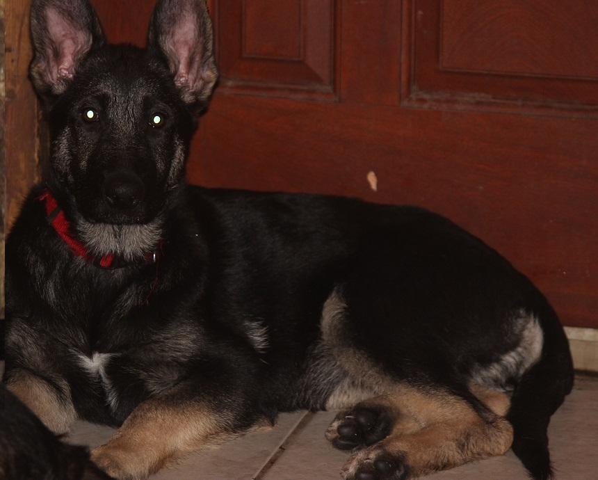 beautiful Browning Haus German Shepherd puppy for sale