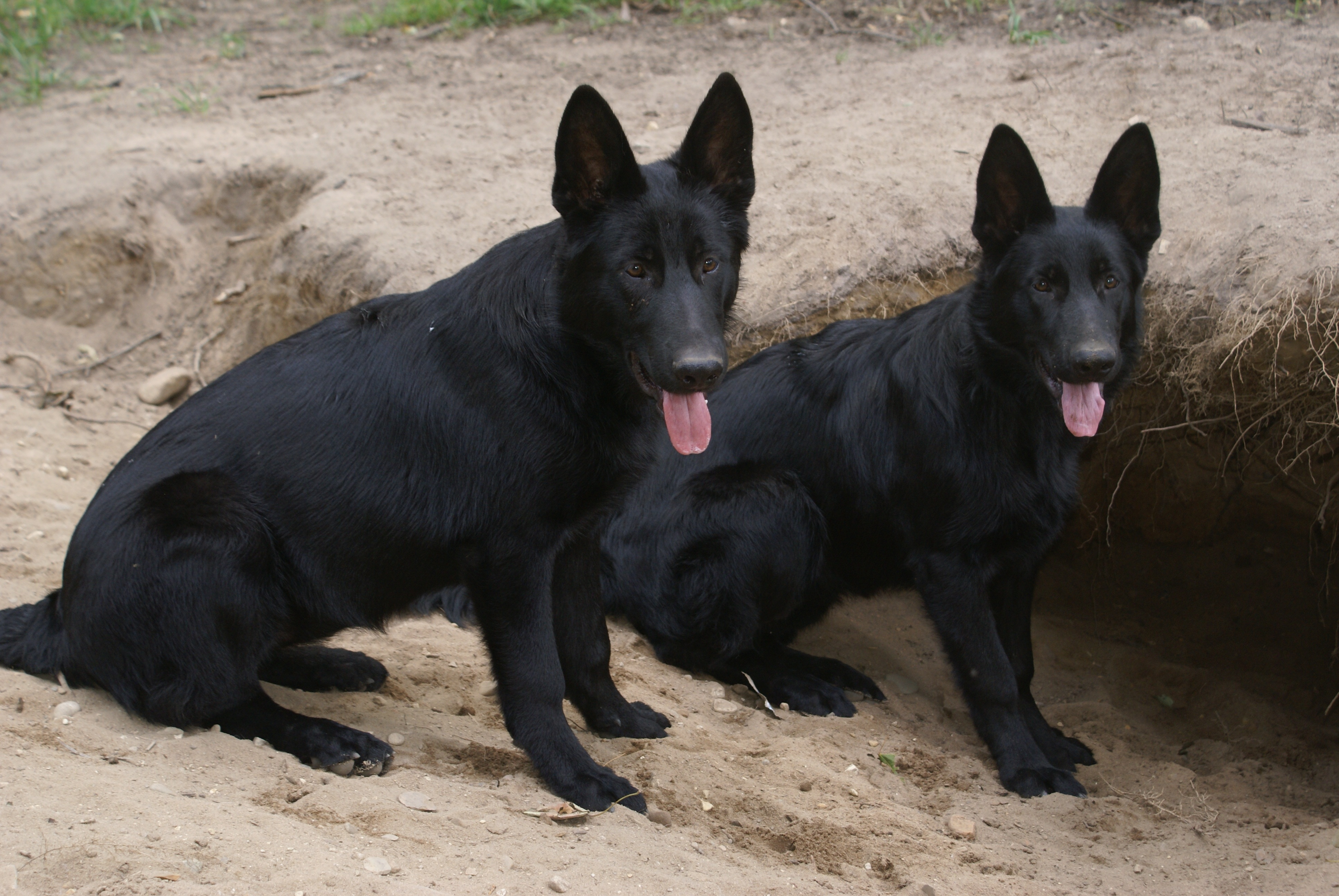 German Shepherd Kennel - Purebred German Shepherd Puppies for Sale