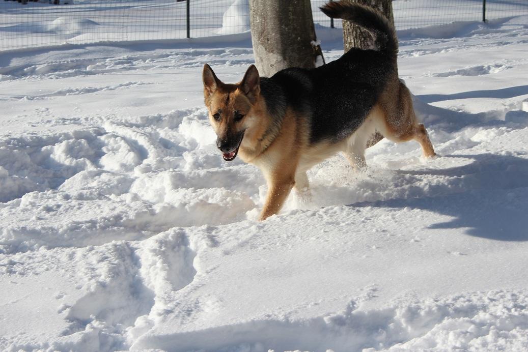Image result for German Shepherd health