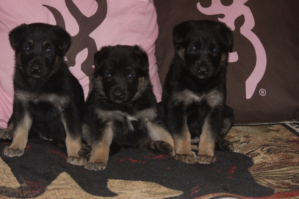 german shepherd female pups for sale