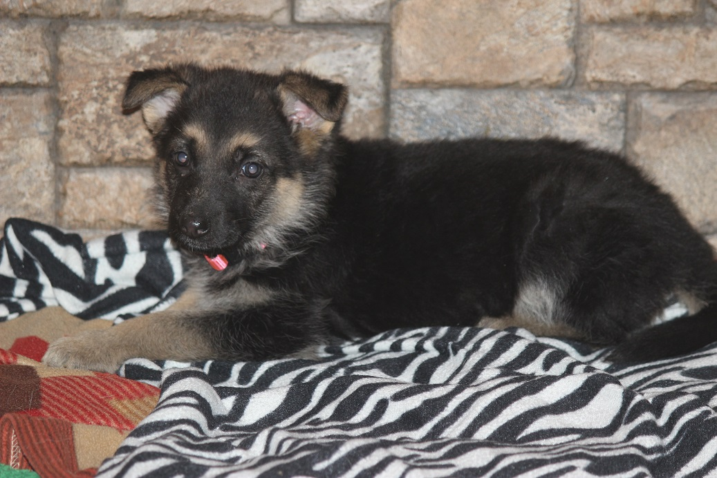 German Shepherd puppy from Browning Haus available today
