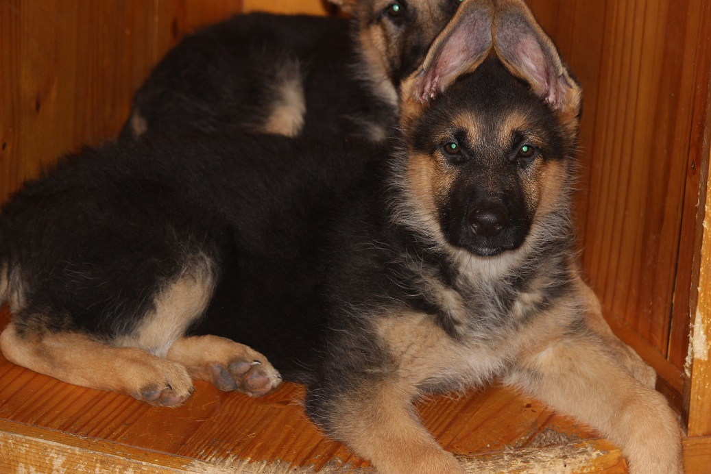 german shephards for sale michigan