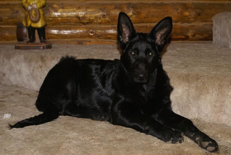 Black German Shepherd Puppies For Sale Breeders